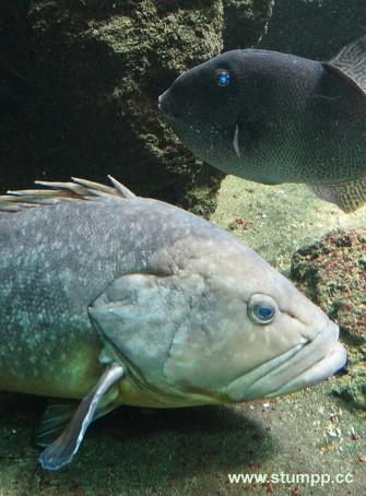 CARTOON Mürrischer Fisch