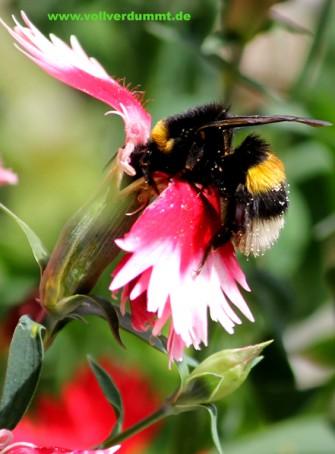 CARTOON Hummel beim Pollensammeln