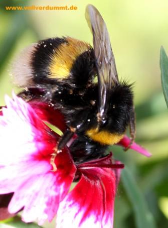 CARTOON Hummel auf der Blume