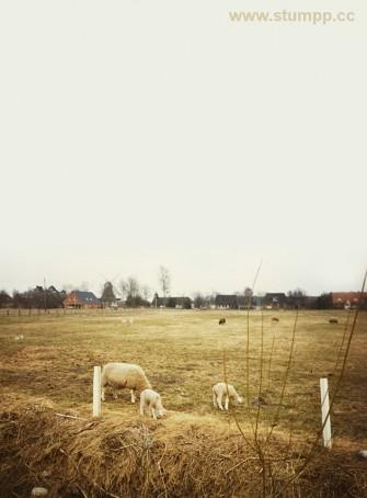 CARTOON Nordfriesland 1996 Schafe